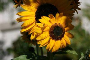 Sunny Fall Sunflowers