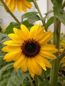 Rainy Sunflower